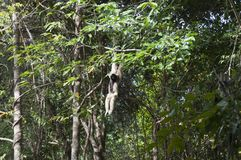 Female pileated gibbon swinging on a tree branch in forest stock photo