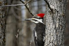 Female pileated woodpecker Dryocopus pileatus perched on tree trunk. Closeup image Royalty Free Stock Photography