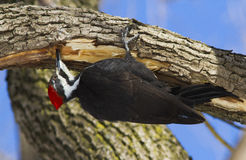 Female Pileated woodpecker Royalty Free Stock Photo