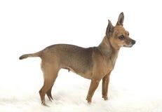 Female pincher toy dog Royalty Free Stock Photo