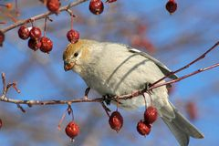 Female Pine Grosbeak. A female Pine Grosbeak eating berries from a flowering crabapple tree during winter in Littlefork, MN Royalty Free Stock Photos
