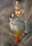 Female pine grosbeak Stock Images