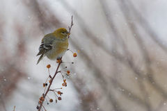 Female Pine Grosbeak in a blizzard Royalty Free Stock Photo