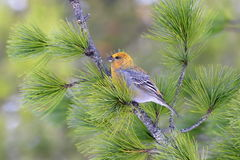 The female pine-grosbeak closeup in the Siberian taiga Royalty Free Stock Photo