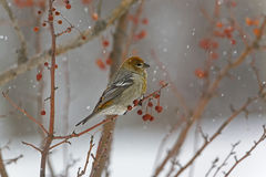 Female Pine Grosbeak in colorful Crabapples Royalty Free Stock Photography