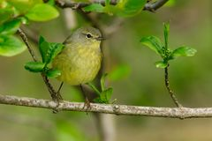 Pine Warbler. Female Pine Warbler perched on a branch. Ashbridges Bay Park, Toronto, Ontario, Canada Stock Image