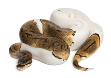 Female Pinstripe Pied Royal python, ball python Royalty Free Stock Image