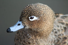 Female pintail head stock photo