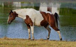 Female pinto horse taking leak. A female pinto horse peeing near a lake or river stock images