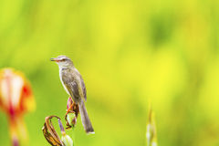 Female of Plain Prinia or White-browed Prinia on the flower Stock Images