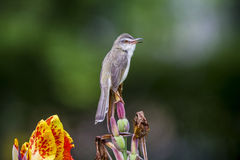 Female of Plain Prinia or White-browed Prinia on the flower Royalty Free Stock Photography