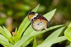 Female Plain Tiger Danaus chrysippus butterfly. On a green leaf stock photo