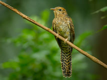 Female Plaintive Cuckoo Stock Images