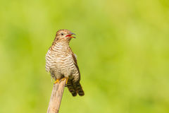 Female Plaintive Cuckoo Royalty Free Stock Image