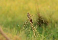 Female Plaintive Cuckoo (Cocomantis merulinus). Beautiful female Plaintive Cuckoo (Cocomantis merulinus) near rice field Stock Images