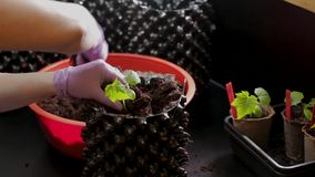Female planting small cucumber plants to bigger air-pots. Preparation to summer season in garden.  stock video footage