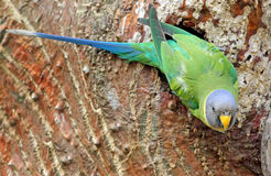 The female plum-headed parakeet Psittacula cyanocephala. On the tree near nest Royalty Free Stock Image