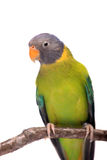 Female of plum-headed parakeet on white Stock Images