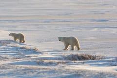 Female polar bear and cub Royalty Free Stock Photos