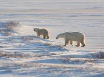 Female polar bear and cub Royalty Free Stock Image