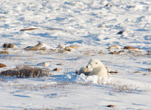Female polar bear nursng cub Royalty Free Stock Photos