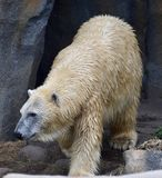 Female Polar Bear on the Prowl. This is an early Spring picture of a female Polar Bear on the prowl in her compound at the Lincoln Park Zoo located in Chicago Stock Photos
