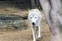 Female polar wolf rescued from the trap, forever left lame. Remained faithful to people Stock Photography