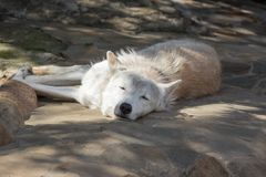 Female polar wolf rescued from the trap, forever left lame. Remained faithful to people Stock Photos