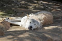 Female polar wolf rescued from the trap, forever left lame. Remained faithful to people Royalty Free Stock Photo