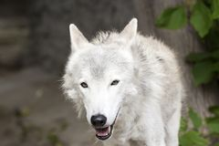 Female polar wolf rescued from the trap, forever left lame Royalty Free Stock Photography