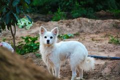 Female Pomerian Dog royalty free stock photos