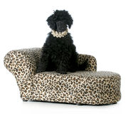 Female poodle puppy. Sitting on a dog couch isolated on white background - 8 weeks old Stock Photo
