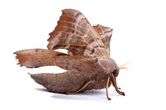 Female of Poplar hawk-moth (Laothoe populi) Stock Image