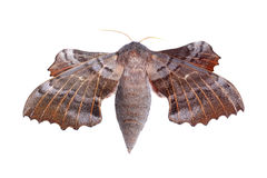 Female of Poplar hawk-moth (Laothoe populi) Royalty Free Stock Photo