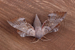 Female of Poplar hawk-moth (Laothoe populi) Royalty Free Stock Photos