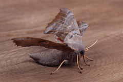 Female of Poplar hawk-moth (Laothoe populi) Stock Photography
