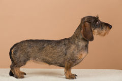 Female portrait of brown dachshund Royalty Free Stock Image