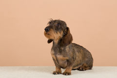 Female portrait of brown dachshund. European champion, breeding station Royalty Free Stock Photos