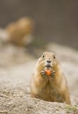 Female prairie dog eating carrot Stock Image