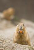 Female prairie dog eating carrot Stock Image