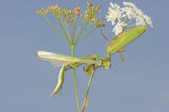 Female of Praying mantis eating male after mating stock images