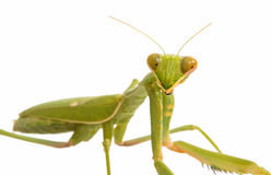 Female Praying Mantis Stock Photography
