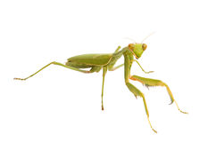 Female Praying Mantis Stock Photo