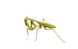 Female Praying Mantis Royalty Free Stock Photography
