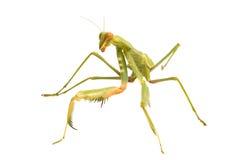 Female Praying Mantis Royalty Free Stock Photo