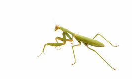 Female Praying Mantis Royalty Free Stock Image