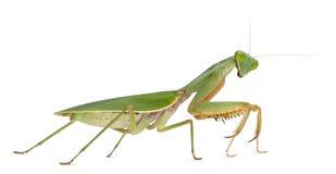 Female Praying Mantis, Rhombodera Basalis Stock Photos