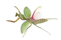 Female Praying Mantis, Rhombodera Basalis Royalty Free Stock Images