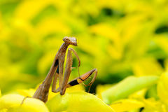 Female Praying Mantis, Rhombodera Basalis, close up macro shot for mantis. Stock Photography