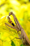 Female Praying Mantis, Rhombodera Basalis, close up macro shot for mantis. Royalty Free Stock Images